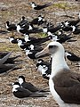 Starr-150403-0289-Brassica juncea-Sooty Terns and Laysan Albatrosses-Southeast Eastern Island-Midway Atoll (25157867382).jpg