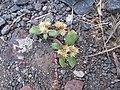 Starr-151214-3239-Alternanthera pungens-seeding habit-LZ Honokanaia-Kahoolawe (26012183630).jpg