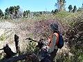 Starr-170304-0317-Rubus niveus-tangle view mauka toward road with Kim-Lower Waiohuli Trail Polipoli-Maui (33226897052).jpg