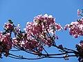 Starr-170923-0268-Tabebuia heterophylla-flowers-Hawea Pl Olinda-Maui - Flickr - Starr Environmental.jpg
