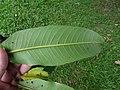 Starr-180406-0757-Terminalia arjuna-leaves-DOFAW Arboretum Hilo-Hawaii (41326519842).jpg