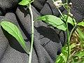 Starr-180421-0072-Cyanthillium cinereum-leaves-Honolua Lipoa Point-Maui (28572107667).jpg