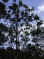 Starr 020803-0051 Pisonia umbellifera.jpg