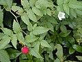 Starr 020803-0132 Rubus rosifolius.jpg