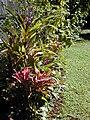 Starr 021212-0004 Cordyline fruticosa.jpg
