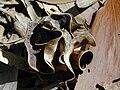 Starr 031013-0030 Acacia auriculiformis.jpg