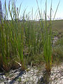 Starr 031108-0205 Typha sp..jpg