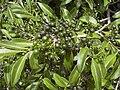 Starr 040318-0037 Psydrax odorata.jpg
