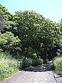 Starr 040518-0064 Albizia lebbeck.jpg