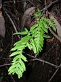 Starr 041211-1364 Unknown pteridophyte.jpg
