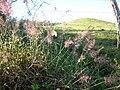 Starr 041219-1577 Melinis minutiflora.jpg