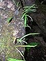 Starr 041221-1908 Lepisorus thunbergianus.jpg