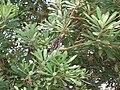 Starr 050719-2910 Banksia integrifolia.jpg