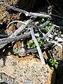 Starr 051202-5544 Arenaria serpyllifolia.jpg