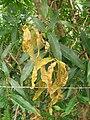 Starr 060422-7921 Syzygium jambos.jpg