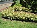 Starr 060922-9098 Bougainvillea sp..jpg
