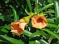 Starr 061129-1728 Thevetia peruviana.jpg