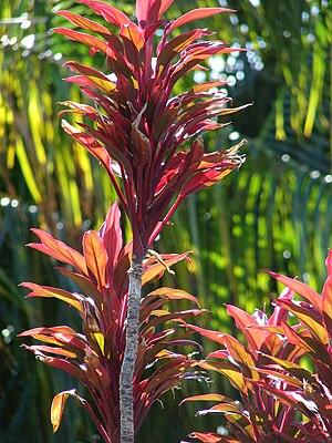 English: Cordyline fruticosa (small red form)....