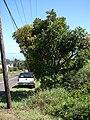 Starr 070525-7203 Kigelia africana.jpg