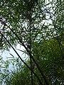 Starr 070906-8606 Otatea acuminata subsp. aztecorum.jpg
