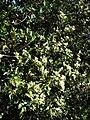 Starr 080812-9652 Psydrax odorata.jpg