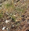 Stephanomeria tenuifolia 2.jpg