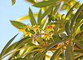 Sterculia murex, bloeiwyse, Jan Celliers Park.jpg