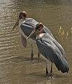 Storks (5065170573).jpg