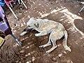 Stray Cafe Dog, Abu Simbel, AG, EGY (48016693027).jpg