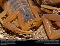 Striped Bark Scorpion (Buthidae, Centruroides vittatus) (26294837281).jpg