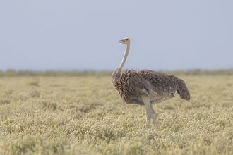 South African ostrich - Female