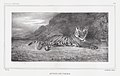 Study of a Tiger MET DP874146.jpg