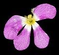 Stylidium sp. fleshy annual - Flickr - Kevin Thiele (1).jpg