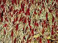 Sumac Saint-Germain-du-Salembre (1).JPG