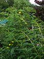 Sunny border - Flickr - peganum (16).jpg