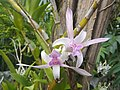 Suvarnabhumi Orchids Farm IMG 20160322 080609 (26837625164).jpg