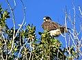Swainson's hawk on Seedskadee National Wildlife Refuge (35648746001).jpg