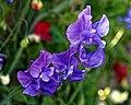 Sweet pea 'Lathyrus odoratus' violet flower at Boreham, Essex, England 4.jpg
