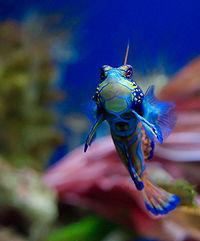Mandarinfish - Wikipedia