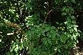 Syringa vulgaris, familija Oleacea 07.jpg