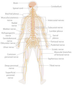 TE-Nervous system diagram.svg