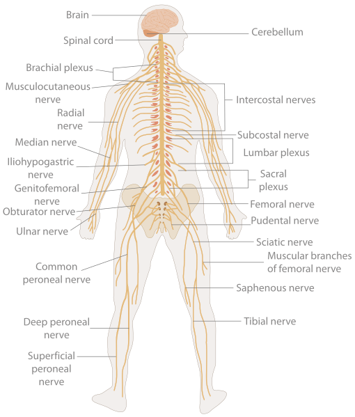 File:TE-Nervous system diagram.svg