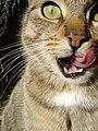 Tabby cat licking.jpg