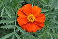 Tagetes patula flower (2).jpg