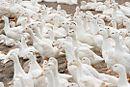 Taiwanese duck farm.jpg