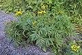 Tansy (Tanacetum vulgare) - Oslo, Norway 2020-08-03.jpg