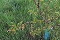 Taphrina deformans 12963.JPG