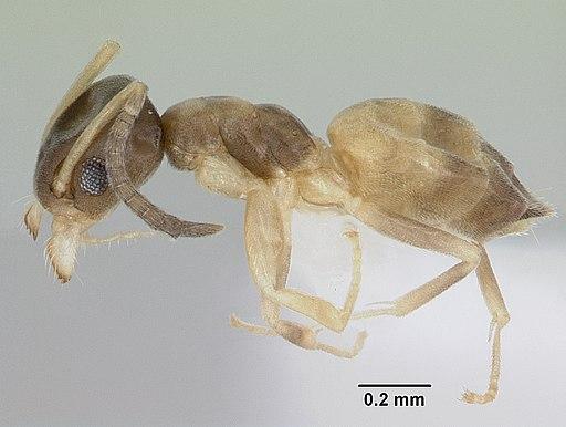Tapinoma melanocephalum casent0103323 profile 1