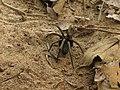 Tarantula muerta.jpg