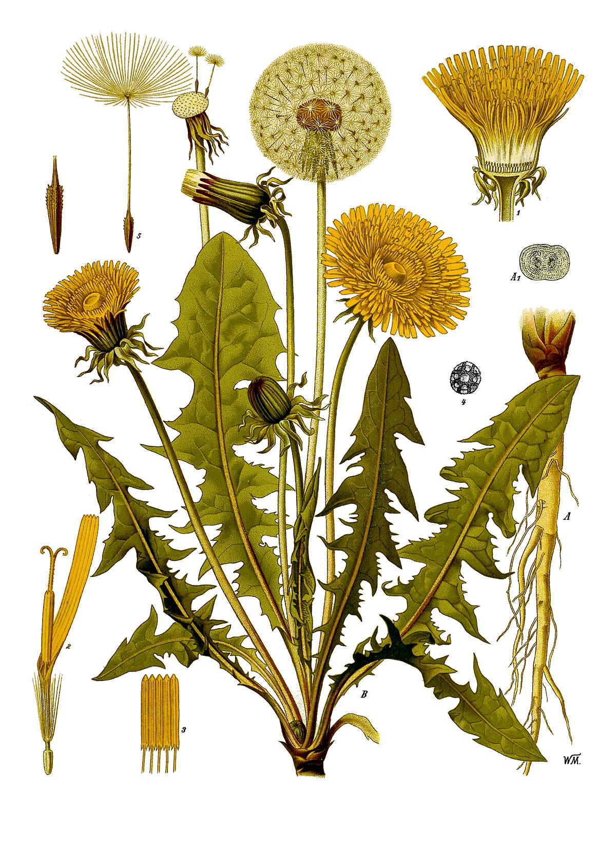 Taraxacum Officinale Wikipedia